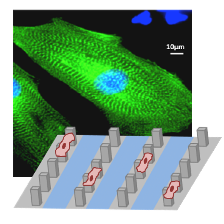 cardiomyocytes on microstructured surfaces